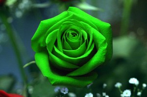 ahmed hassan- green rose